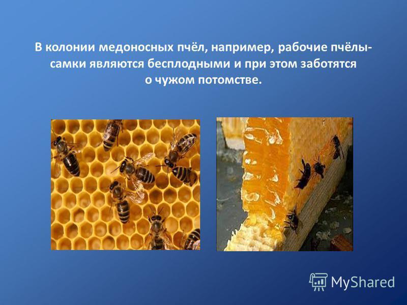 В колонии медоносных пчёл, например, рабочие пчёлы- самки являются бесплодными и при этом заботятся о чужом потомстве.