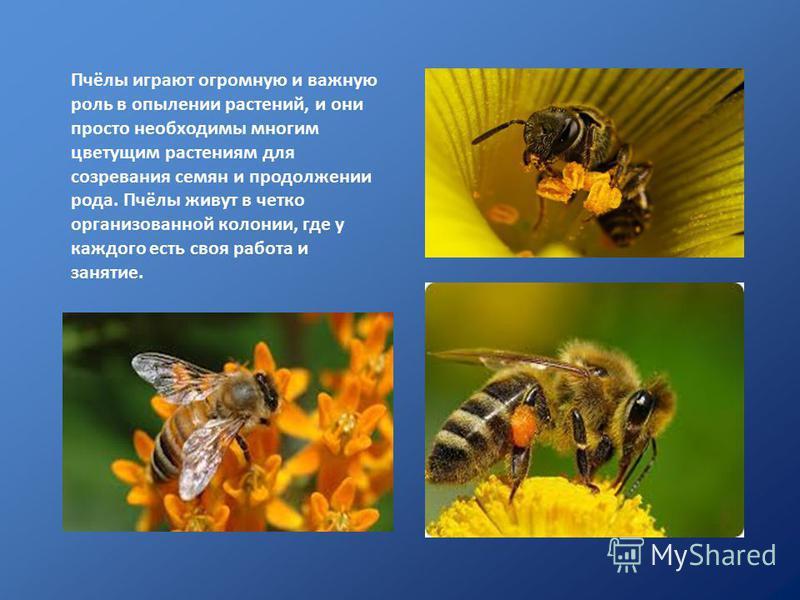 Пчёлы играют огромную и важную роль в опылении растений, и они просто необходимы многим цветущим растениям для созревания семян и продолжении рода. Пчёлы живут в четко организованной колонии, где у каждого есть своя работа и занятие.