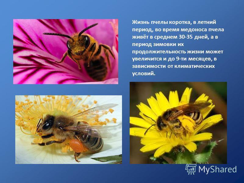 Жизнь пчелы коротка, в летний период, во время медоноса пчела живёт в среднем 30-35 дней, а в период зимовки их продолжительность жизни может увеличится и до 9-ти месяцев, в зависимости от климатических условий.