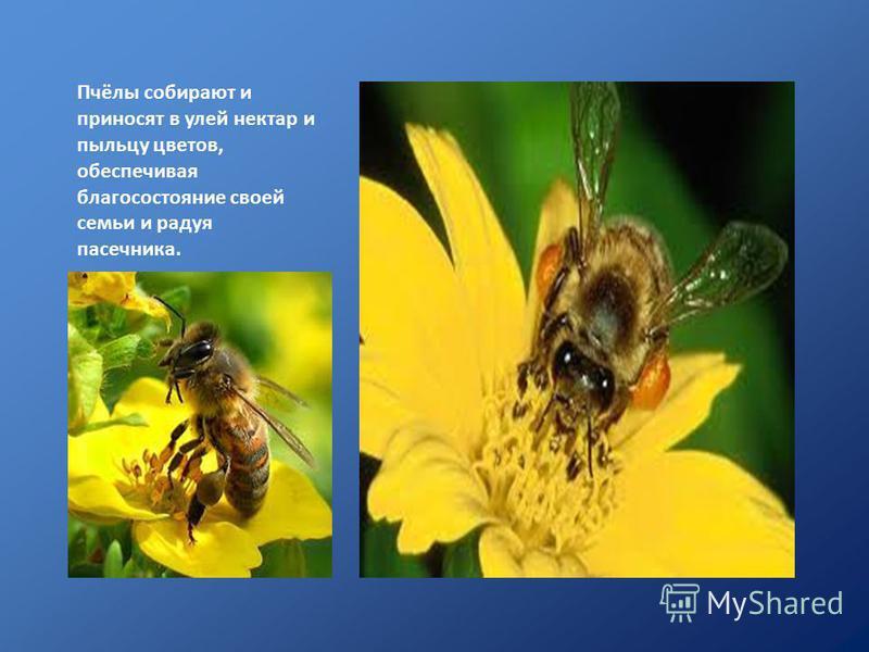 Пчёлы собирают и приносят в улей нектар и пыльцу цветов, обеспечивая благосостояние своей семьи и радуя пасечника.