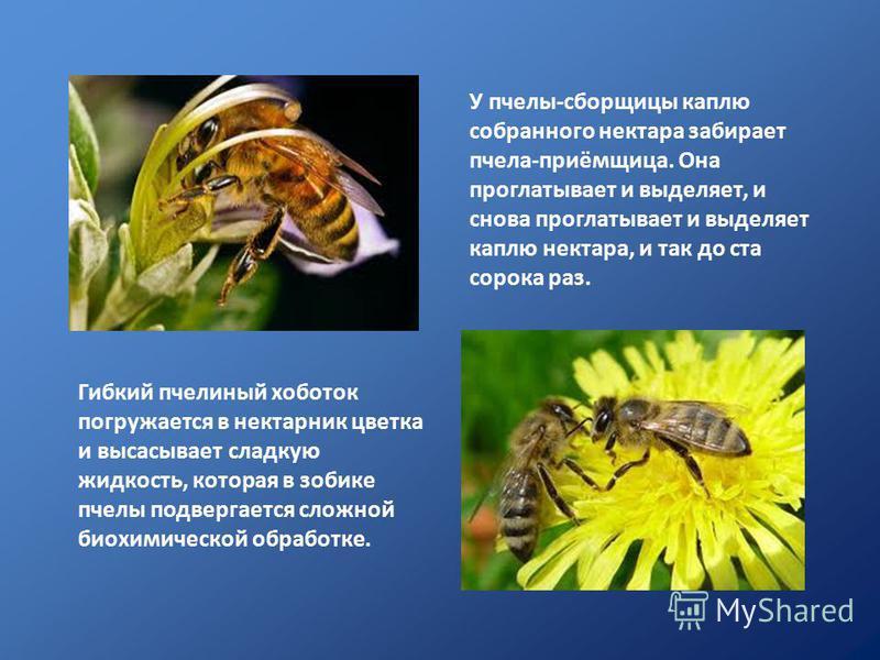 Гибкий пчелиный хоботок погружается в нектарник цветка и высасывает сладкую жидкость, которая в зобике пчелы подвергается сложной биохимической обработке. У пчелы-сборщицы каплю собранного нектара забирает пчела-приёмщица. Она проглатывает и выделяет
