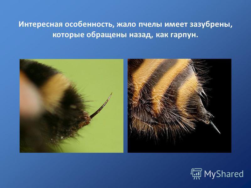 Интересная особенность, жало пчелы имеет зазубрены, которые обращены назад, как гарпун.