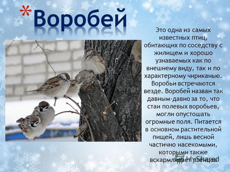 Это одна из самых известных птиц, обитающих по соседству с жилищем и хорошо узнаваемых как по внешнему виду, так и по характерному чириканью. Воробьи встречаются везде. Воробей назван так давным-давно за то, что стаи полевых воробьев, могли опустошат