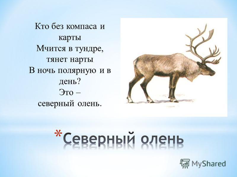 Кто без компаса и карты Мчится в тундре, тянет нарты В ночь полярную и в день? Это – северный олень.