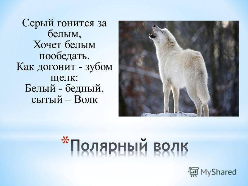 Серый гонится за белым, Хочет белым пообедать. Как догонит - зубом щелк: Белый - бедный, сытый – Волк