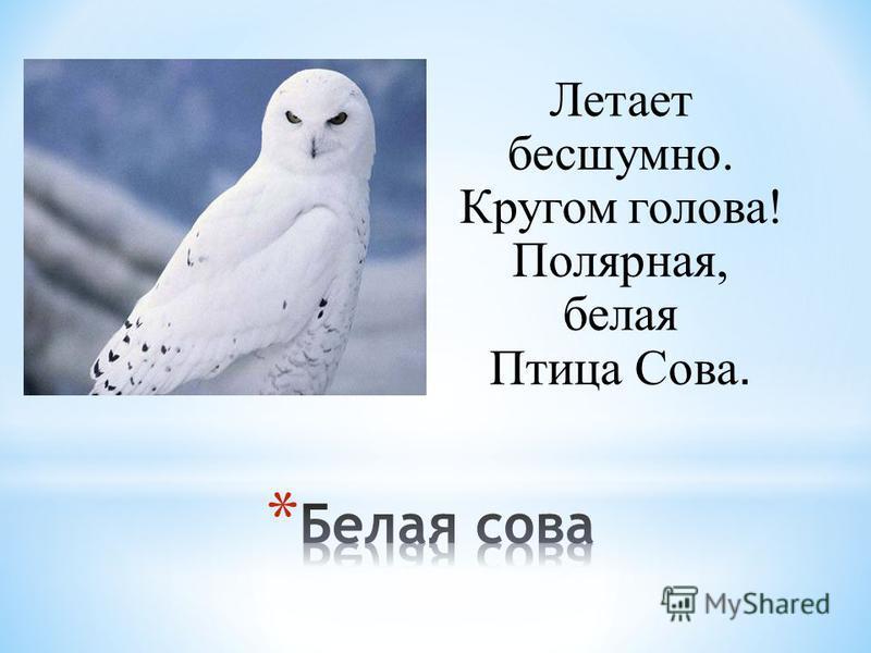 Летает бесшумно. Кругом голова! Полярная, белая Птица Сова.