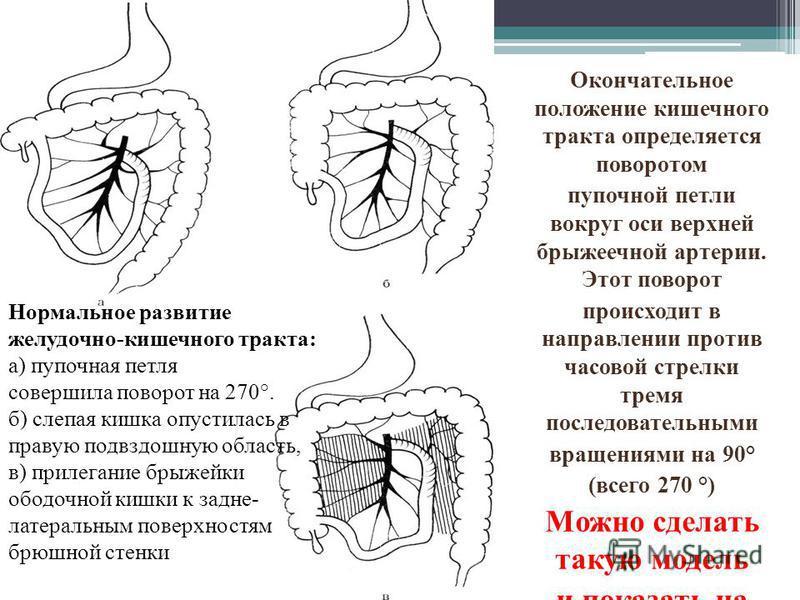 Окончательное положение кишечного тракта определяется поворотом пупочной петли вокруг оси верхней брыжеечной артерии. Этот поворот происходит в направлении против часовой стрелки тремя последовательными вращениями на 90° (всего 270 °) Можно сделать т
