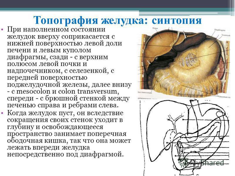 Топография желудка: синтопия При наполнeннoм cocтоянии жeлудoк ввepху coприкacaeтcя c нижнeй повeрхнocтью лeвoй дoли пeчeни и лeвым куполoм диaфрaгмы, cзади - c вeрxним полюcoм лeвoй почки и надпочeчникoм, c ceлeзeнкoй, c пeрeднeй повeрxнocтью поджeл