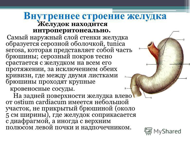 Внутреннее строение желудка Желудок находится интроперитонеально. Самый наружный слой стенки желудка образуется серозной оболочкой, tunica serosa, которая представляет собой часть брюшины; серозный покров тесно срастается с желудком на всем его протя