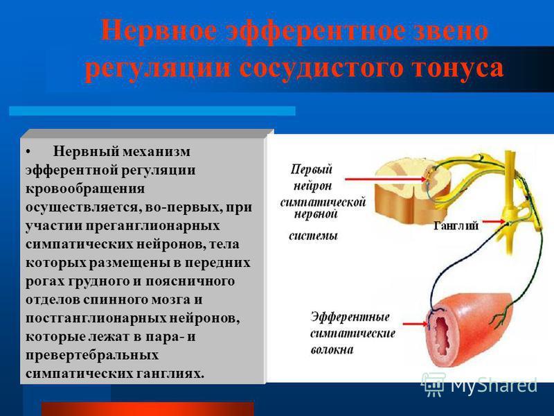 Нервное эфферентное звено регуляции сосудистого тонуса Нервный механизм эфферентной регуляции кровообращения осуществляется, во-первых, при участии преганглионарных симпатических нейронов, тела которых размещены в передних рогах грудного и поясничног