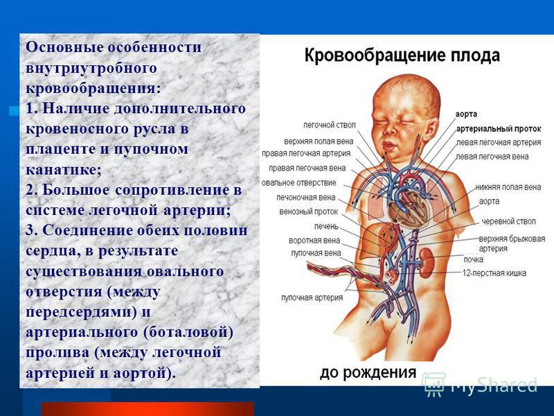 Основные особенности внутриутробного кровообращения: 1. Наличие дополнительного кровеносного русла в плаценте и пупочном канатике; 2. Большое сопротивление в системе легочной артерии; 3. Соединение обеих половин сердца, в результате существования ова