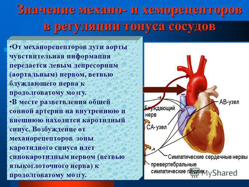 Значение механо- и хеморецепторов в регуляции тонуса сосудов От механорецепторов дуги аорты чувствительная информация передается левым депресорним (аортальным) нервом, ветвью блуждающего нерва к продолговатому мозгу. В месте разветвления общей сонной