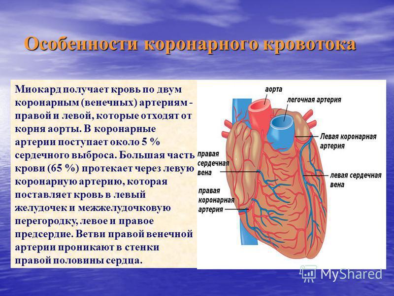 Особенности коронарного кровотока Миокард получает кровь по двум коронарным (венечных) артериям - правой и левой, которые отходят от корня аорты. В коронарные артерии поступает около 5 % сердечного выброса. Большая часть крови (65 %) протекает через