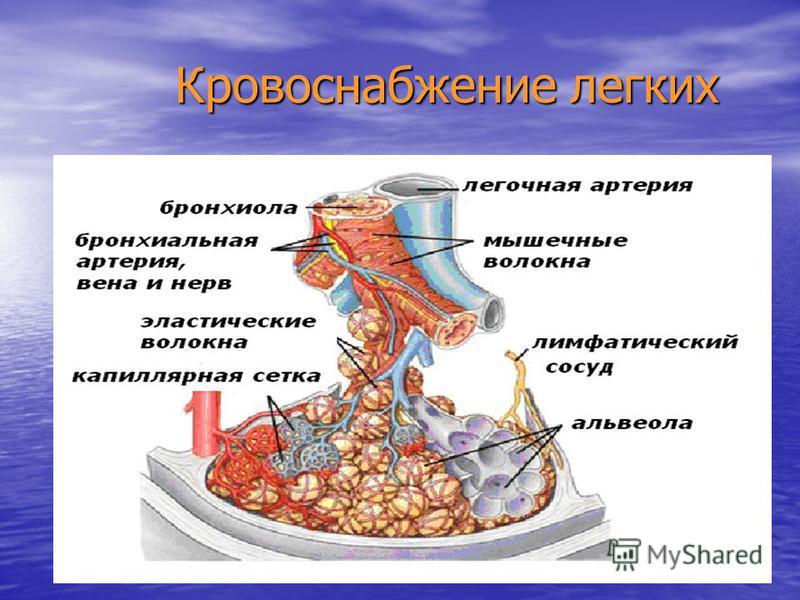 Кровоснабжение легких