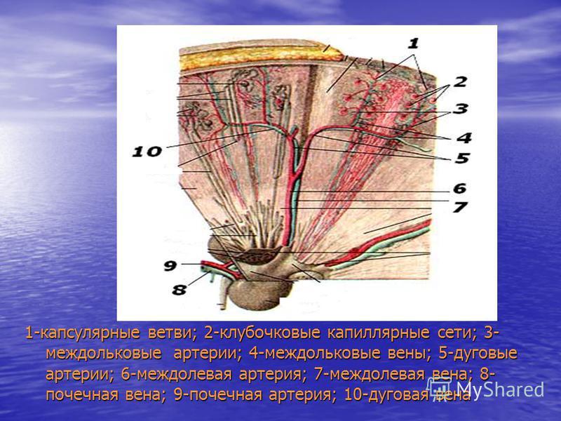 1-капсулярные ветви; 2-клубочковые капиллярные сети; 3- междольковые артерии; 4-междольковые вены; 5-дуговые артерии; 6-междолевая артерия; 7-междолевая вена; 8- почечная вена; 9-почечная артерия; 10-дуговая вена