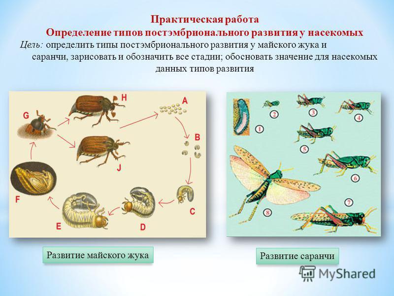Практическая работа Определение типов постэмбрионального развития у насекомых Цель: определить типы постэмбрионального развития у майского жука и саранчи, зарисовать и обозначить все стадии; обосновать значение для насекомых данных типов развития Раз