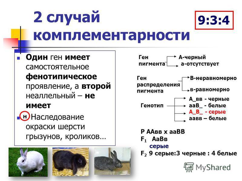 2 случай комплементарности Один ген имеет самостоятельное фенотипическое проявление, а второй неаллельный – не имеет Наследование окраски шерсти грызунов, кроликов… н Ген А-черный пигмента а-отсутствует Ген распределения пигмента В-неравномерно в-рав