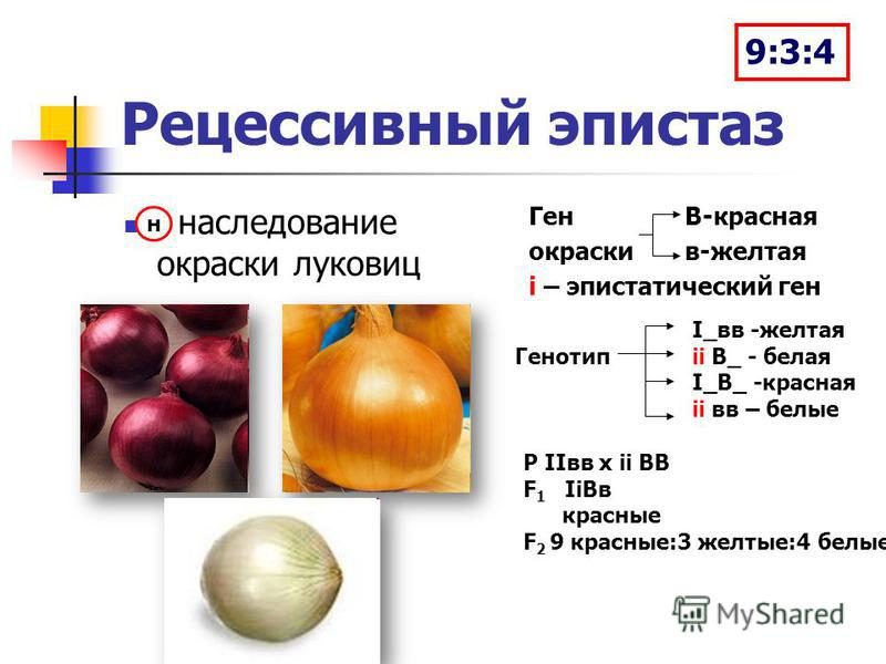 Рецессивный эпистаз наследование окраски луковиц Ген В-красная окраски в-желтая i – эпистатический ген н I_вв -желтая Генотипii В_ - белая I_В_ -красная ii вв – белые Р IIвв х ii ВВ F 1 IiBв красные F 2 9 красные:3 желтые:4 белые 9:3:4