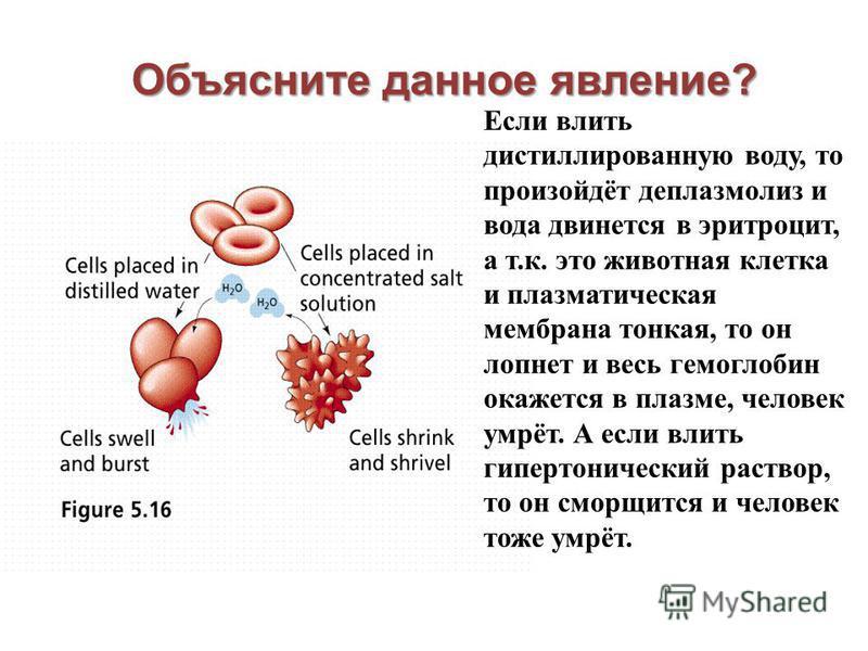 Объясните данное явление? Если влить дистиллированную воду, то произойдёт деплазмолиз и вода двинется в эритроцит, а т.к. это животная клетка и плазматическая мембрана тонкая, то он лопнет и весь гемоглобин окажется в плазме, человек умрёт. А если вл