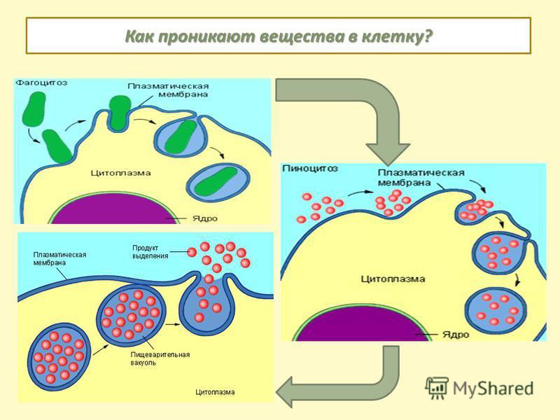 Как проникают вещества в клетку?