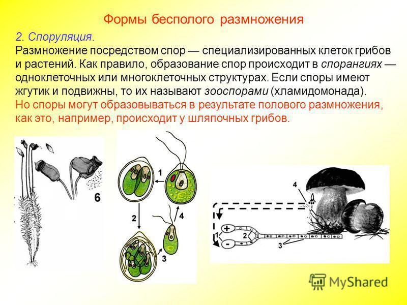 Формы бесполого размножения 2. Споруляция. Размножение посредством спор специализированных клеток грибов и растений. Как правило, образование спор происходит в спорангиях одноклеточных или многоклеточных структурах. Если споры имеют жгутик и подвижны