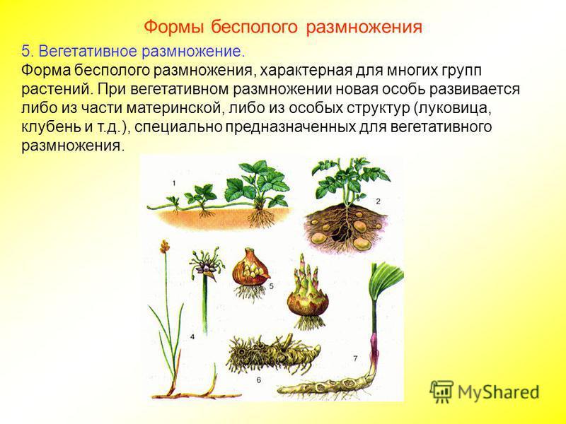 Формы бесполого размножения 4. Фрагментация Фрагментация разделение особи на две или несколько частей, каждая из которых развивается в новую особь. Этот способ размножения наблюдается и у растений, и у животных (кольчатые черви). В основе фрагментаци