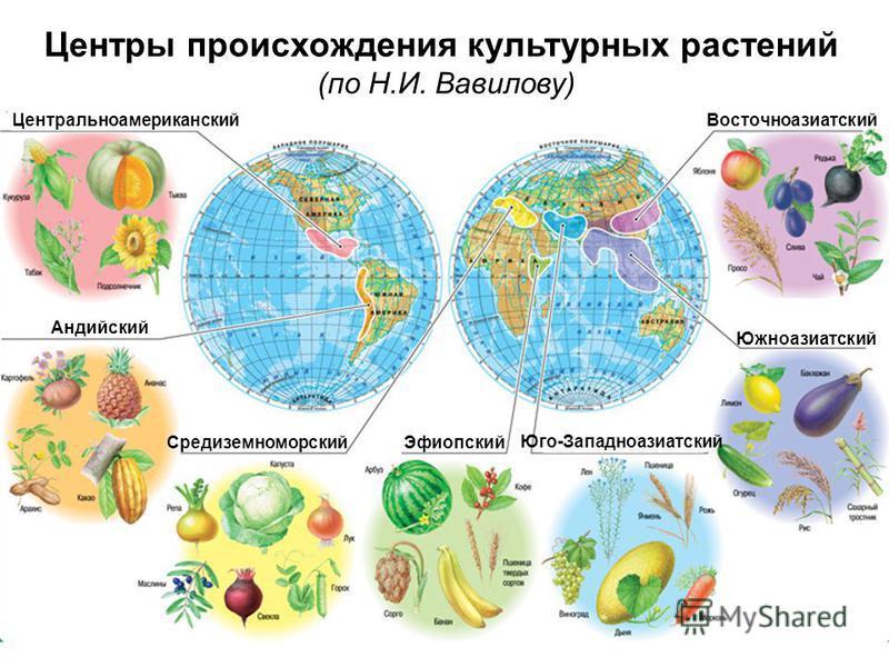 Центры происхождения культурных растений (по Н.И. Вавилову) Андийский Центральноамериканский Средиземноморский Эфиопский Юго-Западноазиатский Южноазиатский Восточноазиатский