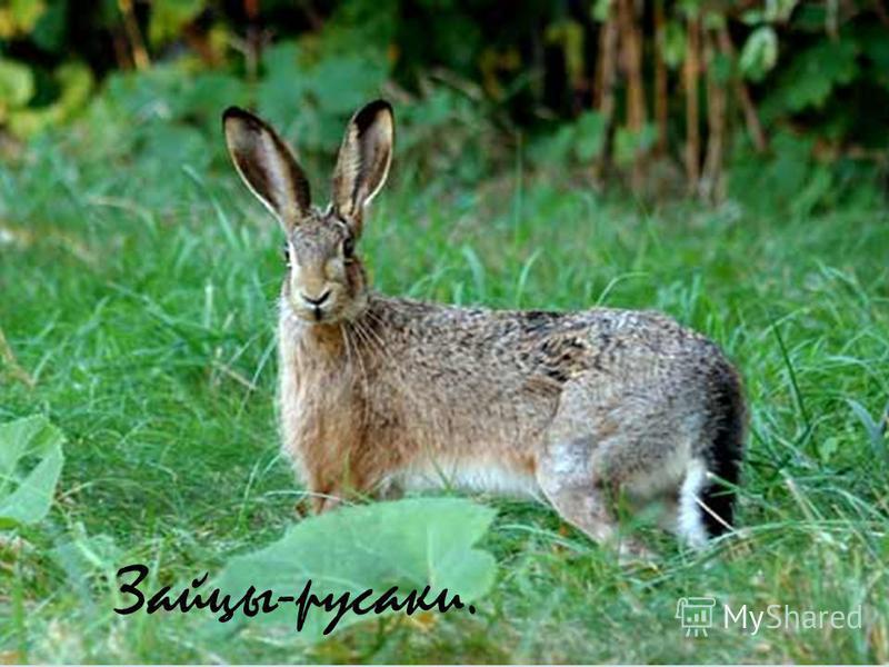 Зайцы-русаки.