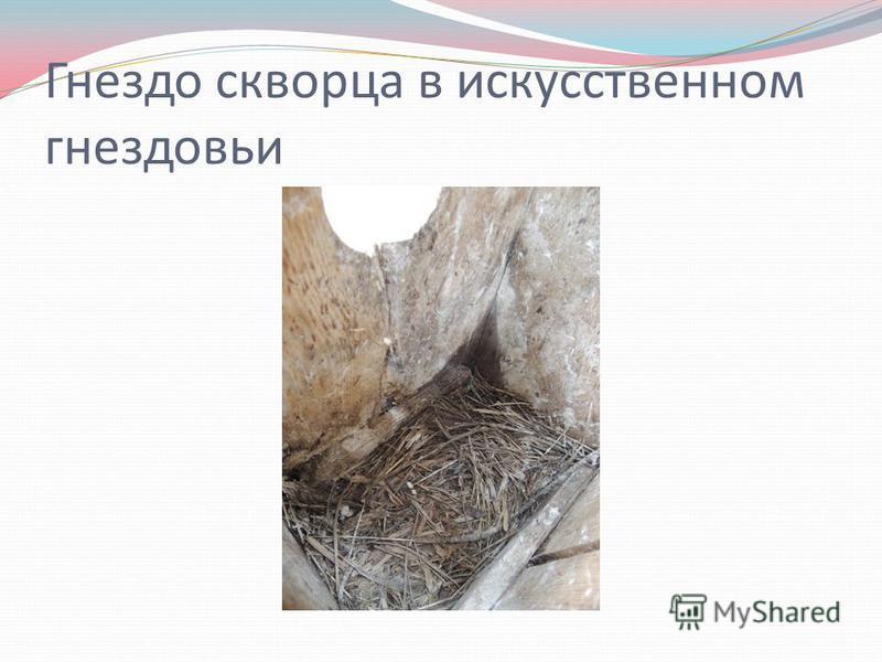 Гнездо скворца в искусственном гнездовье