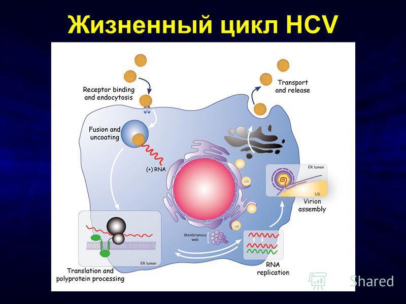 Жизненный цикл HCV