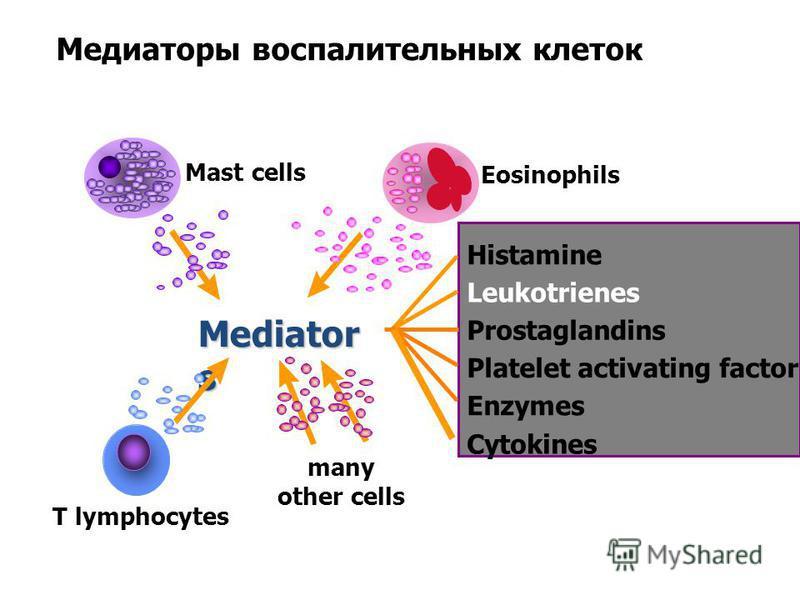 Eosinophils Mediator s Histamine Leukotrienes Prostaglandins Platelet activating factor Enzymes Cytokines Mast cells T lymphocytes many other cells Медиаторы воспалительных клеток