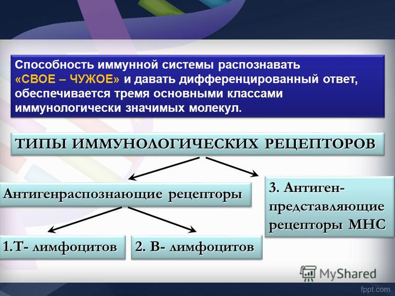ТИПЫ ИММУНОЛОГИЧЕСКИХ РЕЦЕПТОРОВ Антигенраспознающие рецепторы 1.Т- лимфоцитов 2. В- лимфоцитов 3. Антиген- представляющие рецепторы МНС Способность иммунной системы распознавать «СВОЕ – ЧУЖОЕ» и давать дифференцированный ответ, обеспечивается тремя