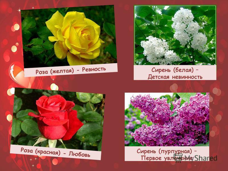 Роза (желтая) - Ревность Роза (красная) - Любовь Сирень (белая) – Детская невинность Сирень (пурпурная) – Первое увлечение