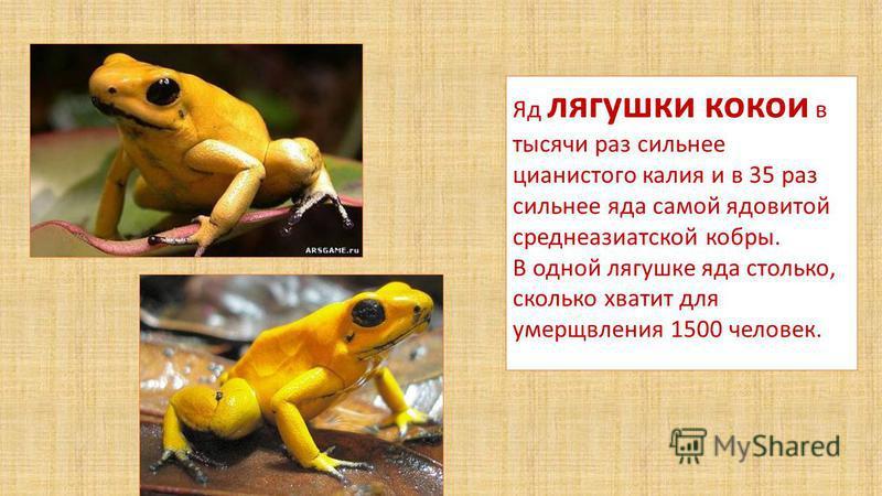 Яд лягушки кокои в тысячи раз сильнее цианистого калия и в 35 раз сильнее яда самой ядовитой среднеазиатской кобры. В одной лягушке яда столько, сколько хватит для умерщвления 1500 человек.