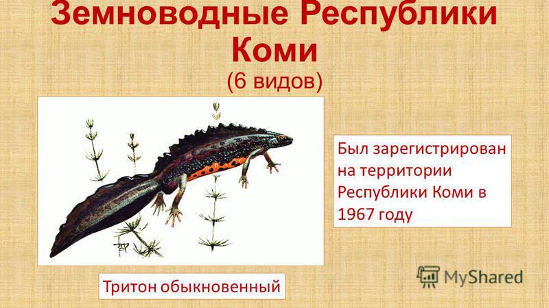 Земноводные Республики Коми (6 видов) Тритон обыкновенный Был зарегистрирован на территории Республики Коми в 1967 году