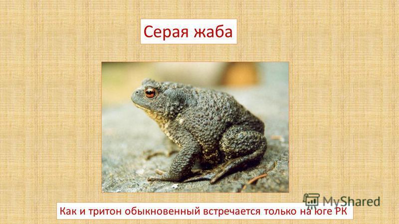 Серая жаба Как и тритон обыкновенный встречается только на юге РК