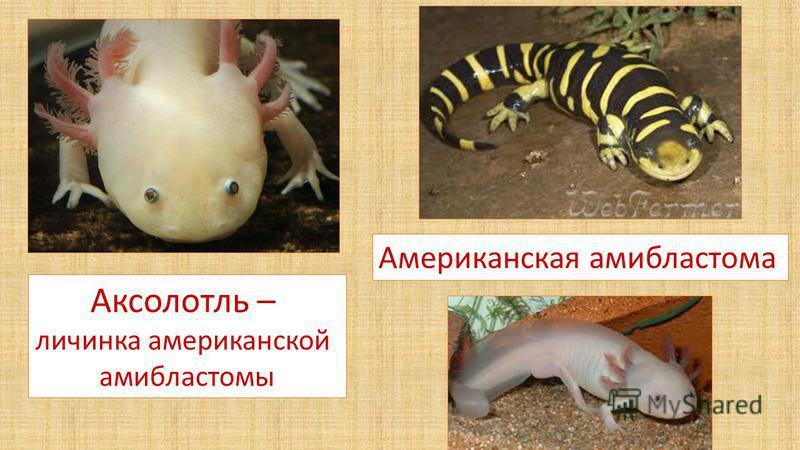 Аксолотль – личинка американской амибластомы Американская амибластома