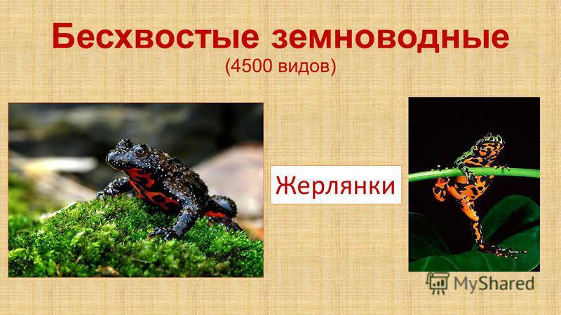 Бесхвостые земноводные (4500 видов) Жерлянки