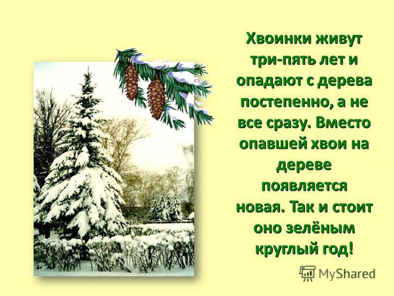 Хвоинки живут три-пять лет и опадают с дерева постепенно, а не все сразу. Вместо опавшей хвои на дереве появляется новая. Так и стоит оно зелёным круглый год!