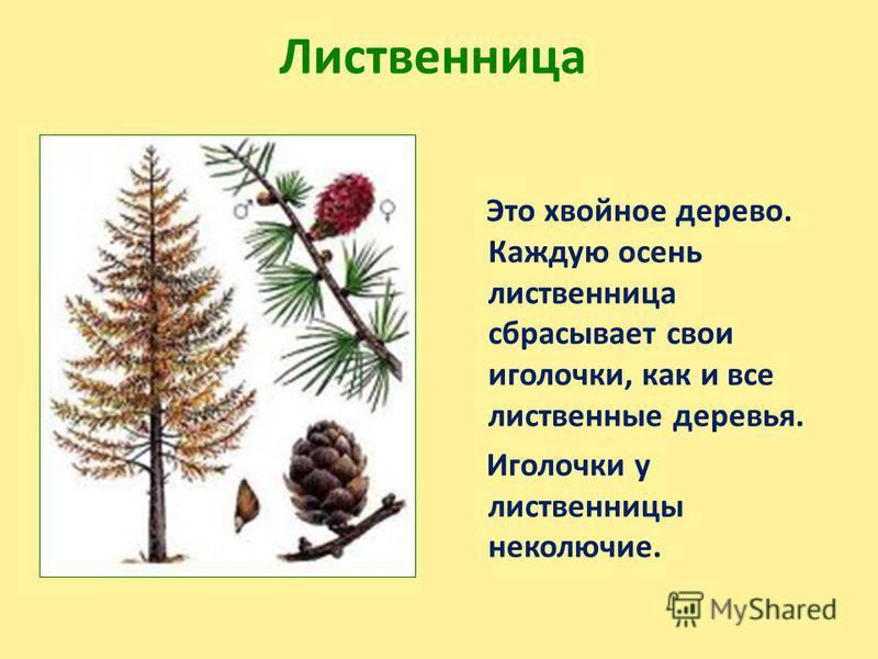 Лиственница Это хвойное дерево. Каждую осень лиственница сбрасывает свои иголочки, как и все лиственные деревья. Иголочки у лиственницы неколючие.