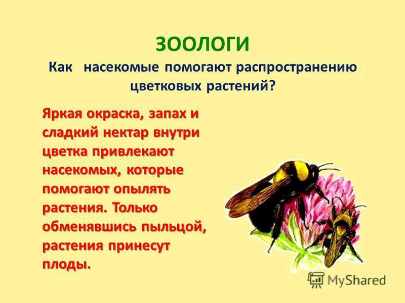 ЗООЛОГИ Как насекомые помогают распространению цветковых растений? Яркая окраска, запах и сладкий нектар внутри цветка привлекают насекомых, которые помогают опылять растения. Только обменявшись пыльцой, растения принесут плоды.