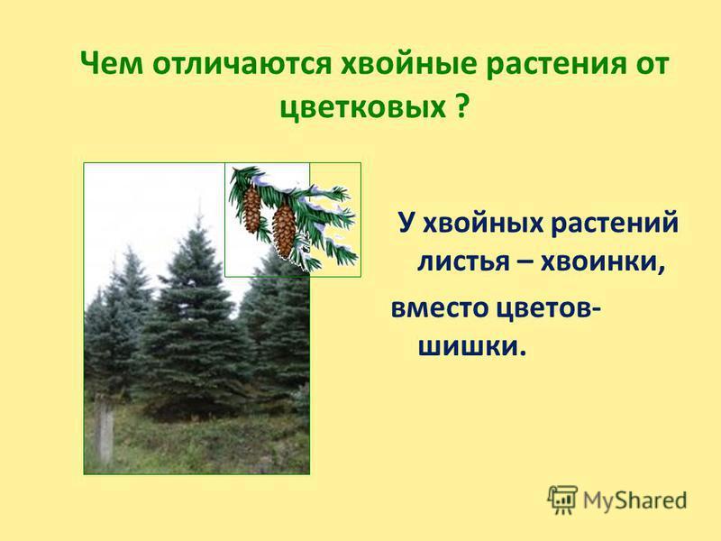 Чем отличаются хвойные растения от цветковых ? У хвойных растений листья – хвоинки, вместо цветов- шишки.