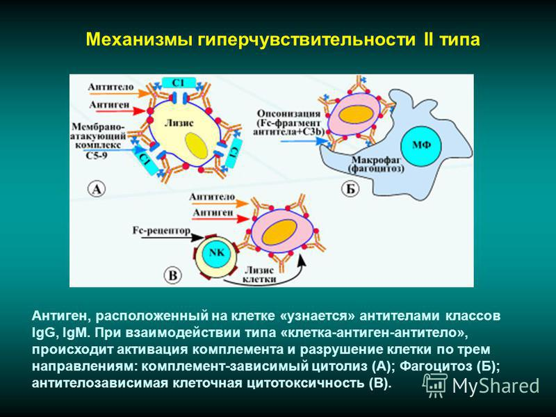 Механизмы гиперчувствительности II типа Антиген, расположенный на клетке «узнается» антителами классов IgG, IgM. При взаимодействии типа «клетка-антиген-антитело», происходит активация комплемента и разрушение клетки по трем направлениям: комплемент-