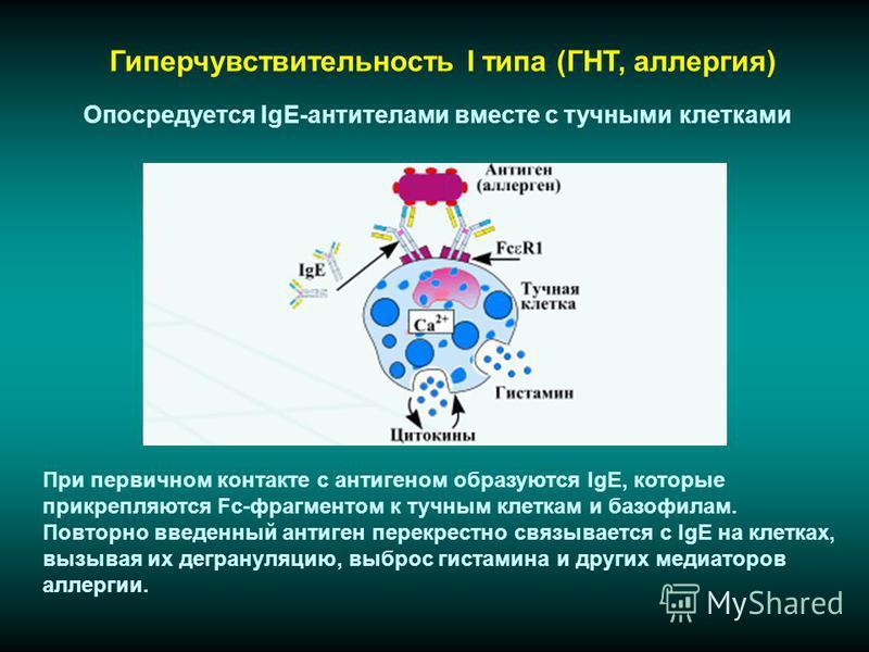 Гиперчувствительность I типа (ГНТ, аллергия) При первичном контакте с антигеном образуются IgE, которые прикрепляются Fc-фрагментом к тучным клеткам и базофилам. Повторно введенный антиген перекрестно связывается с IgE на клетках, вызывая их дегранул