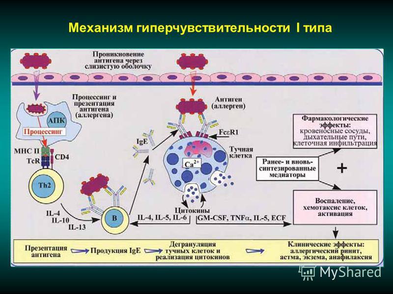Механизм гиперчувствительности I типа