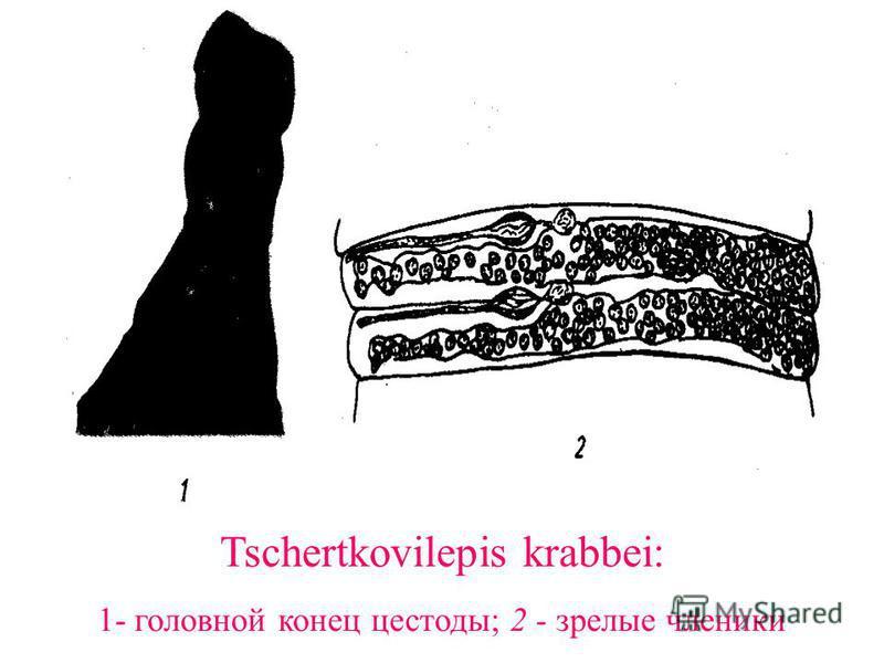 Tschertkovilepis krabbei: 1- головной конец цестоды; 2 - зрелые членики