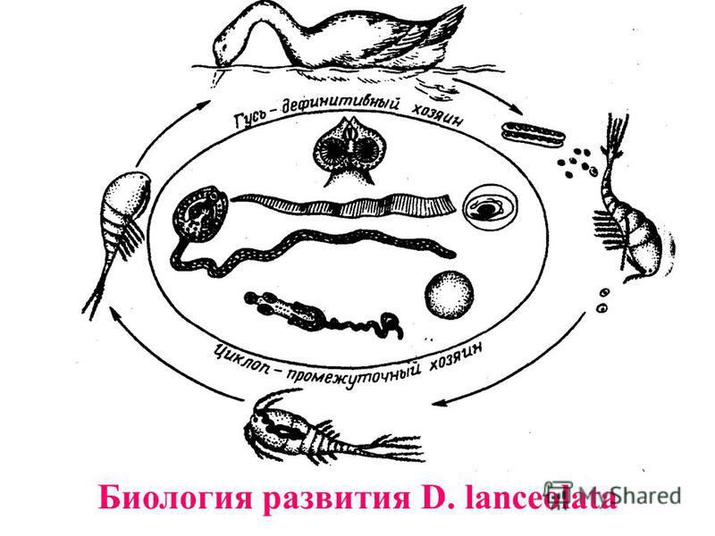 Биология развития D. lanceolata