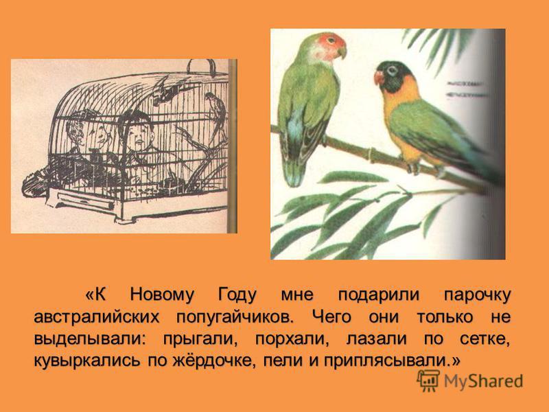 «К Новому Году мне подарили парочку австралийских попугайчиков. Чего они только не выделывали: прыгали, порхали, лазали по сетке, кувыркались по жёрдочке, пели и приплясывали.» «К Новому Году мне подарили парочку австралийских попугайчиков. Чего они