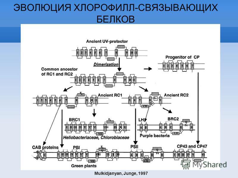ЭВОЛЮЦИЯ ХЛОРОФИЛЛ-СВЯЗЫВАЮЩИХ БЕЛКОВ Mulkidjanyan, Junge, 1997