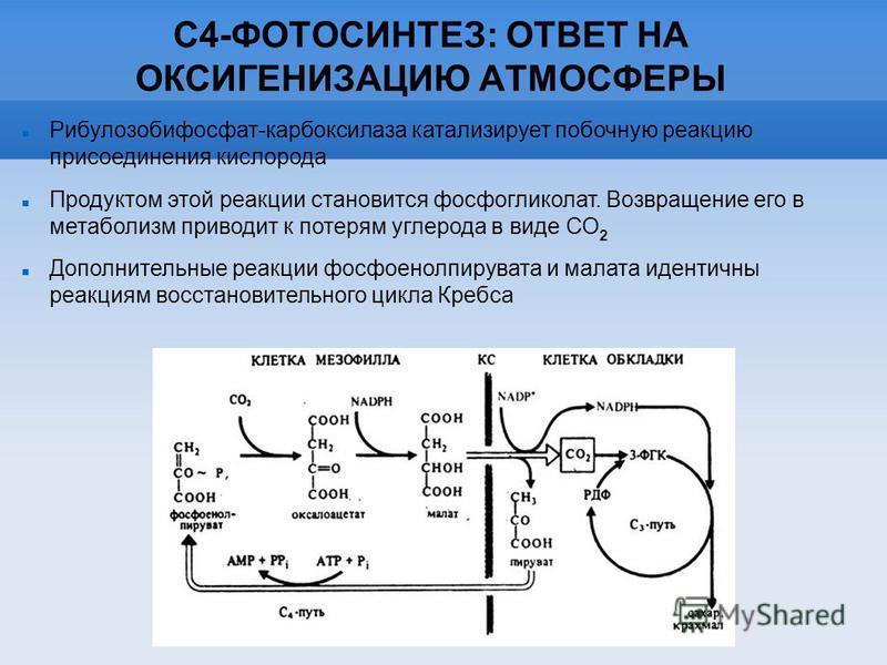 С4-ФОТОСИНТЕЗ: ОТВЕТ НА ОКСИГЕНИЗАЦИЮ АТМОСФЕРЫ Рибулозобифосфат-карбоксилаза катализирует побочную реакцию присоединения кислорода Продуктом этой реакции становится фосфогликолат. Возвращение его в метаболизм приводит к потерям углерода в виде СО 2